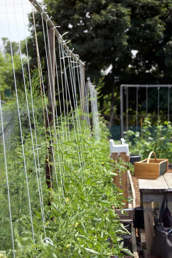 A row of 20 or so tomatoes being supported with individual strings going to each plant from an 8' high beam.