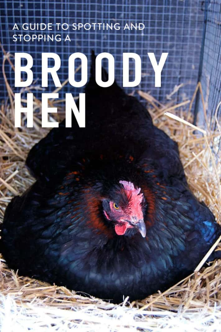 So your hen sits in the nesting box like she\'s hatching chicks only there are no eggs under her and she doesn\'t seem to be eating, drinking or bathing. She\'s broody. Here\'s how to fix it.
