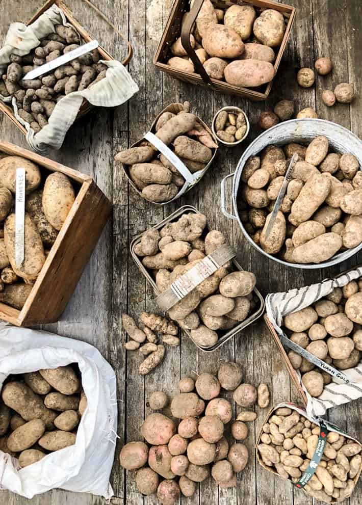 Harvested potatoes in various containers against a rustic wooden background.
