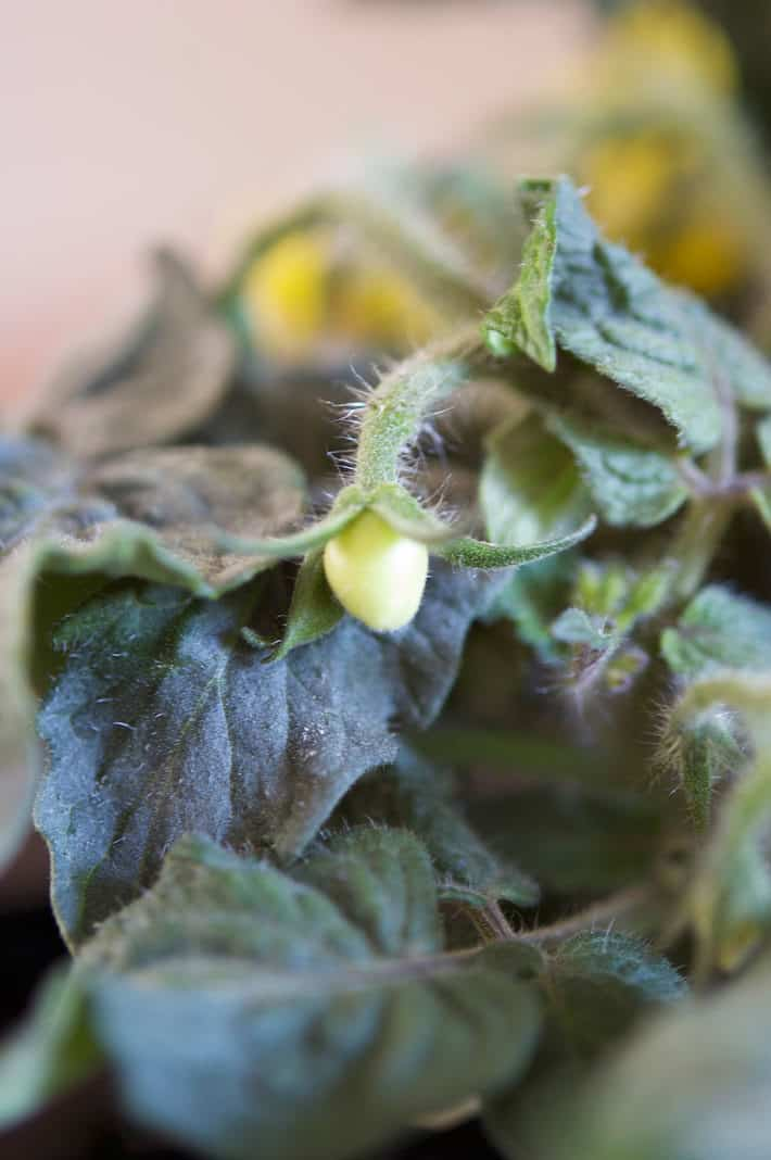 Is it Possible to Grow Tomatoes Indoors All Winter? Yep