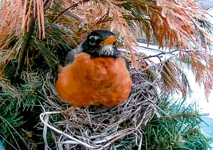 A robin's red breast is front and centre as it sits on the first of four eggs it will lay over four days.
