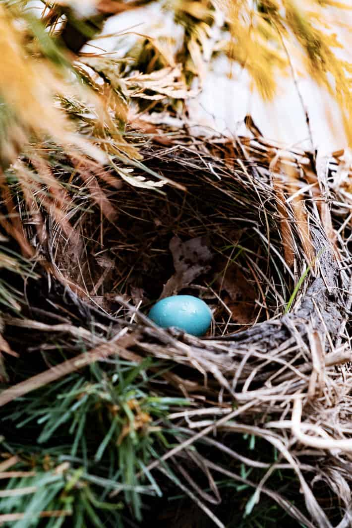 A robin's egg lays alone in a nest, the bright blue vibrant against the brown of the twigs and leaves of the nest.