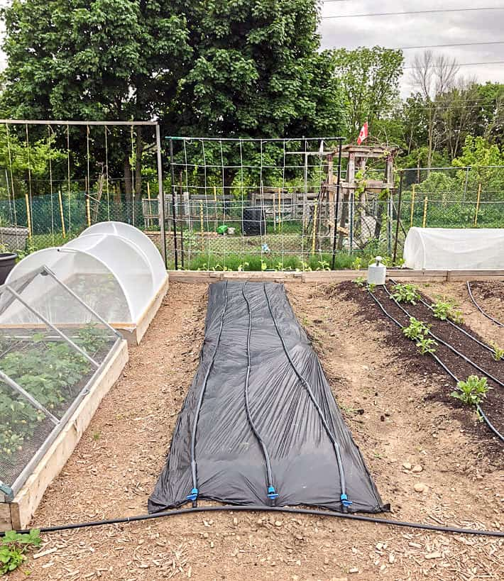 Tidy, large vegetable garden with newly laid out drip irrigation tubes.