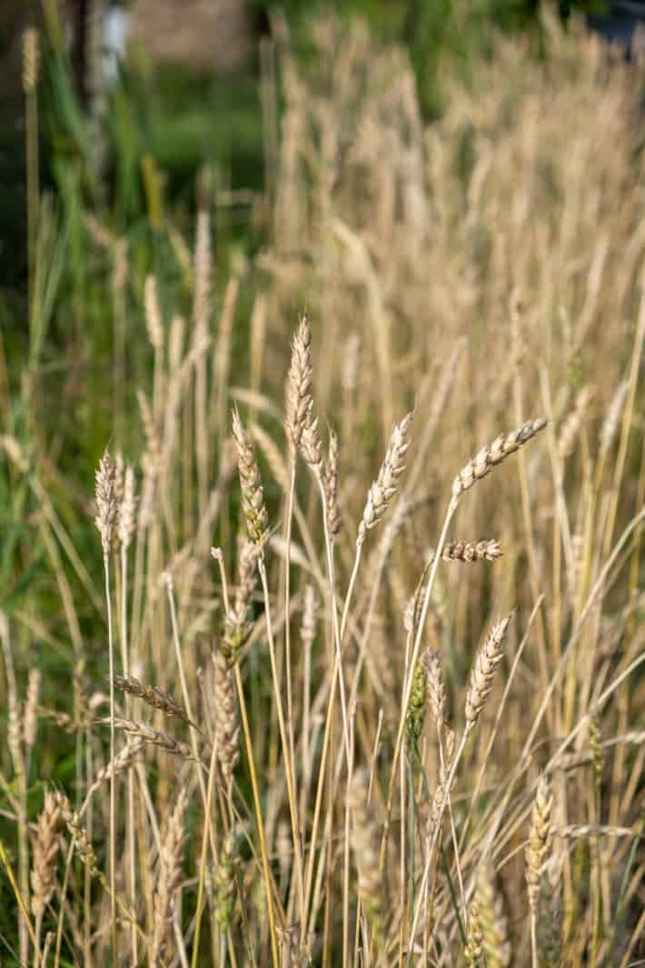Dried wheat grown in a small area ready to harvest.