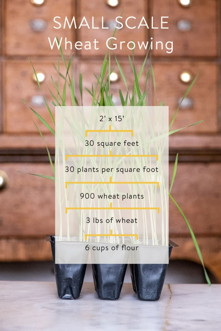 Graphic showing that 30 square feet, with 30 plants per square foot will produce 3 pounds of wheat and therefore 6 cups of flour.
