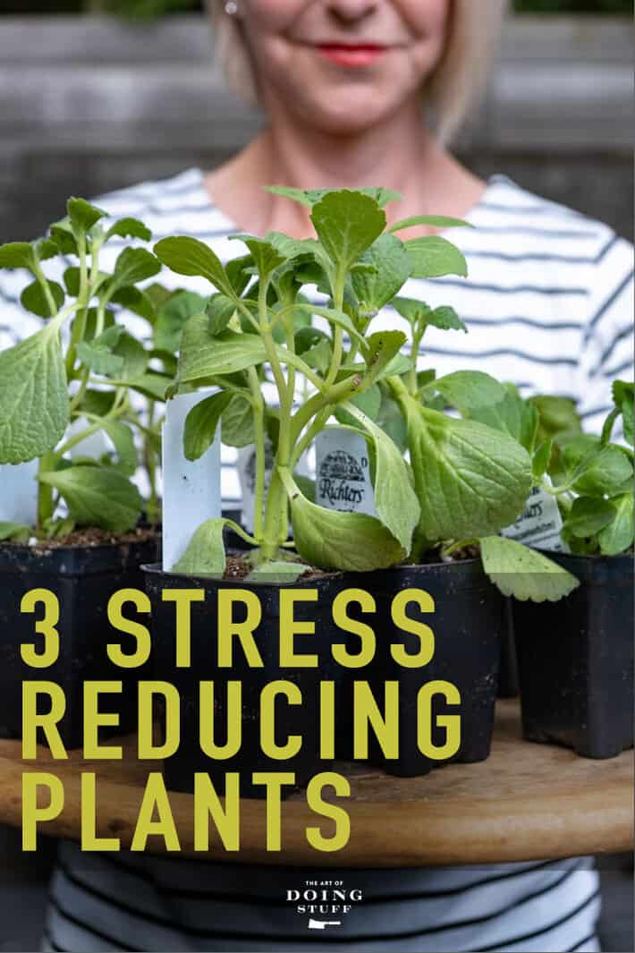 3 plants that all reduce stress in different ways!  Some medicinal, some edible and something to keep the rabbits away.
