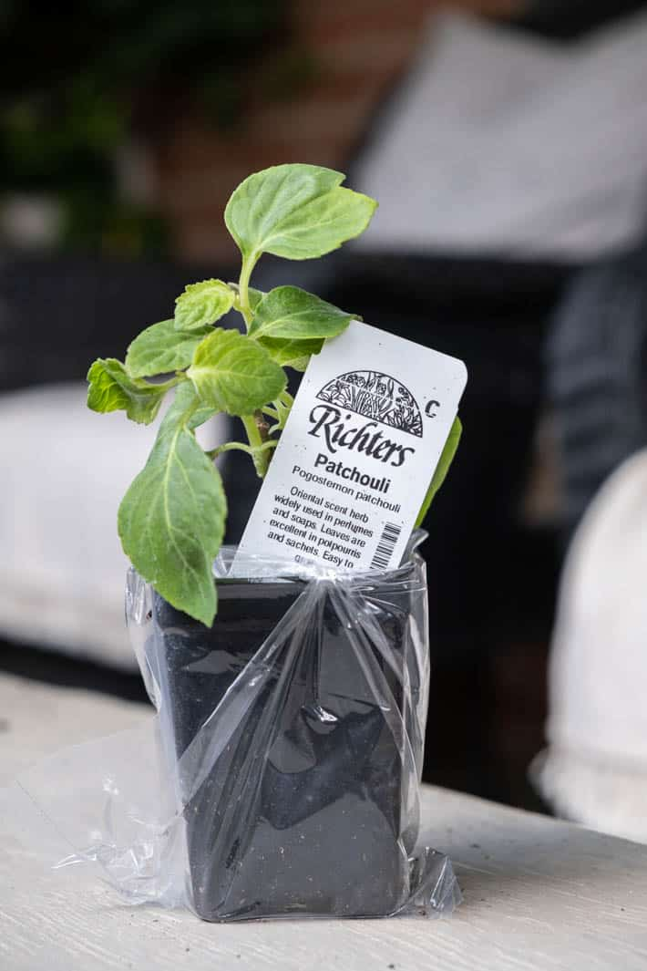 Patchouli seedling sitting on a wood bench, ready to plant out in the garden.