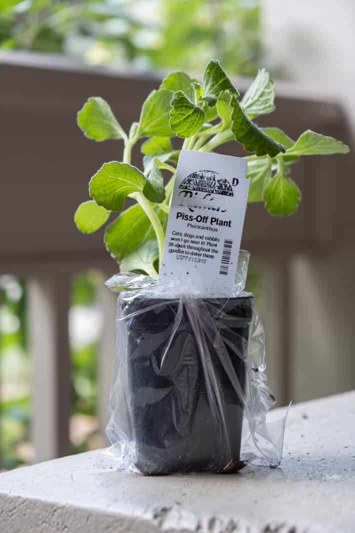 Ready to transplant seedling of Piss Off plant, which promises to keep cats, dogs and rabbits out of the garden.