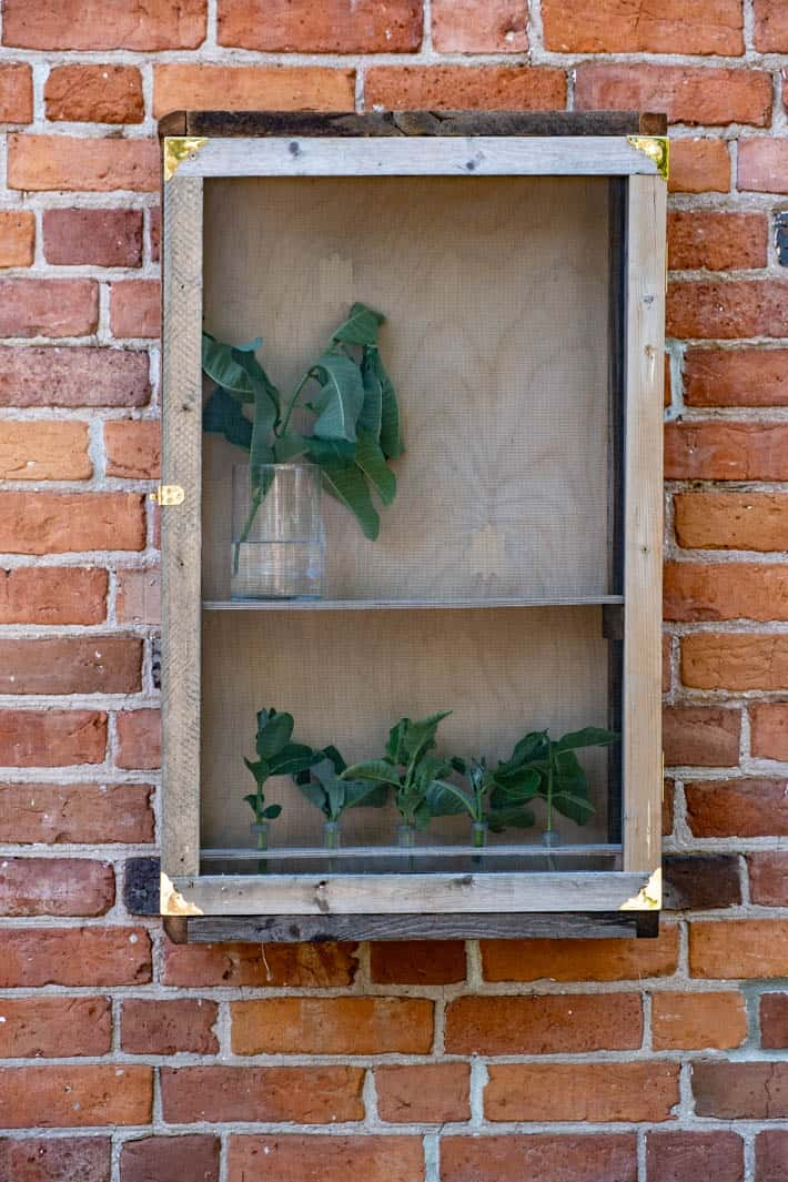 Rustic wood DIY butterfly enclosure filled with vases containing cut milkweed.