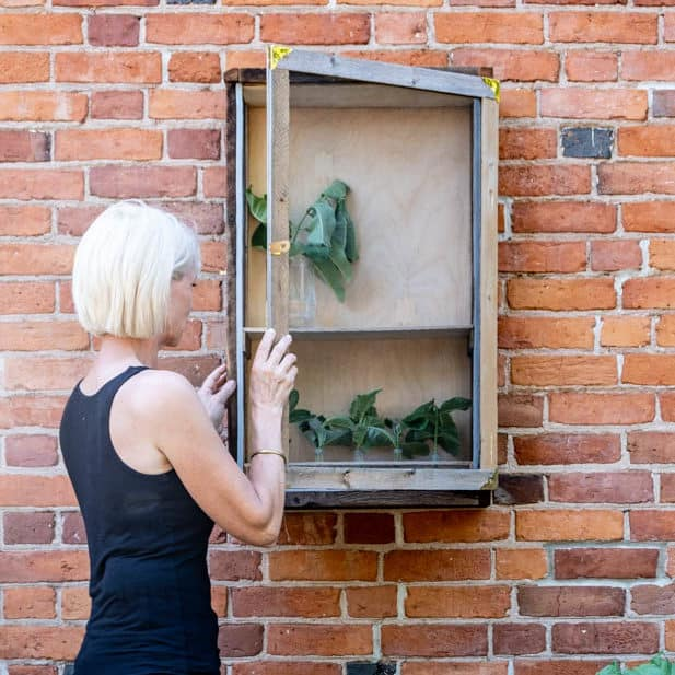 Karen Bertelsen looking into her DIY butterfly enclosure hanging on exterior red brick wall.