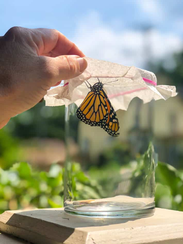 Hand lifting paper towel covering glass jar. Monarch butterfly rests on jar.