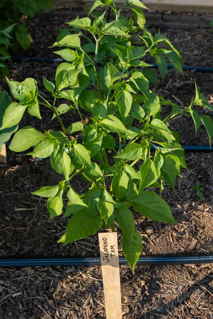 Tam jalapeño plants, perfect for jalapeno poppers because of their less intense heat.