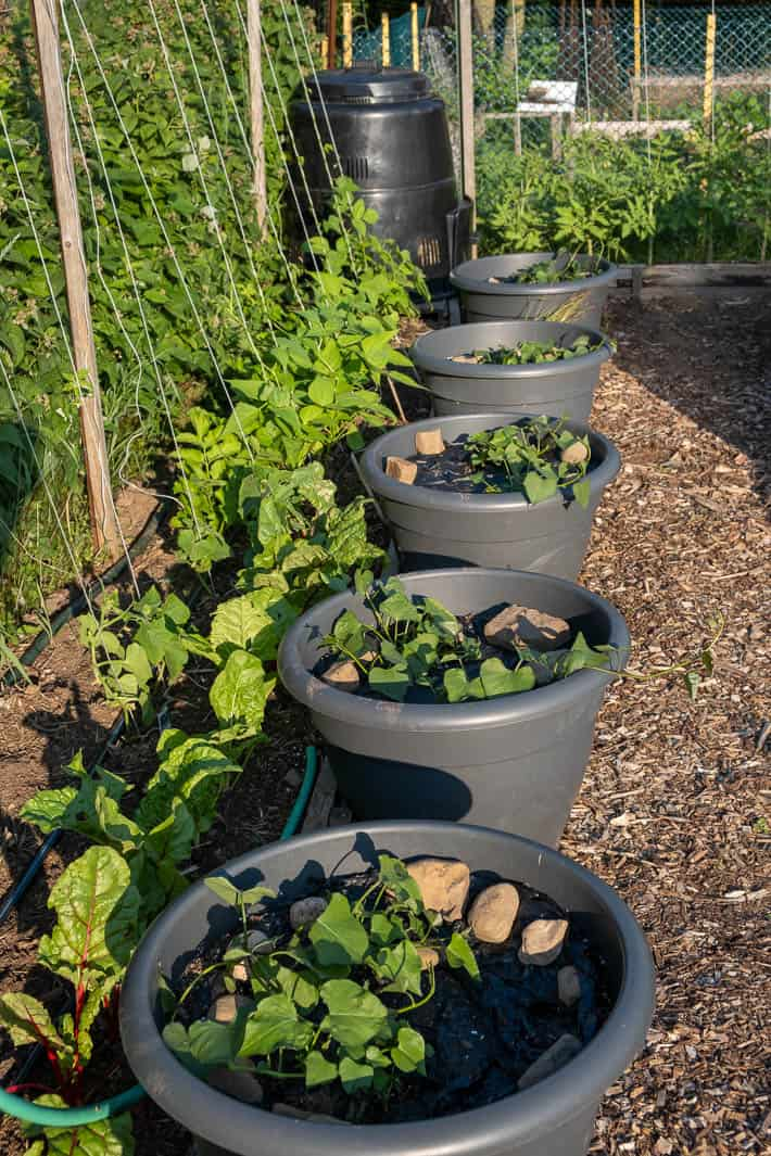 Sweet potatoes growing in pots beside string-trained plants with composter in background.