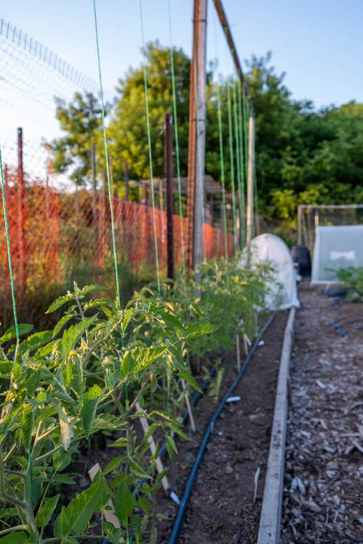String-trained tomato plants growing in Karen Bertelsen's community garden.