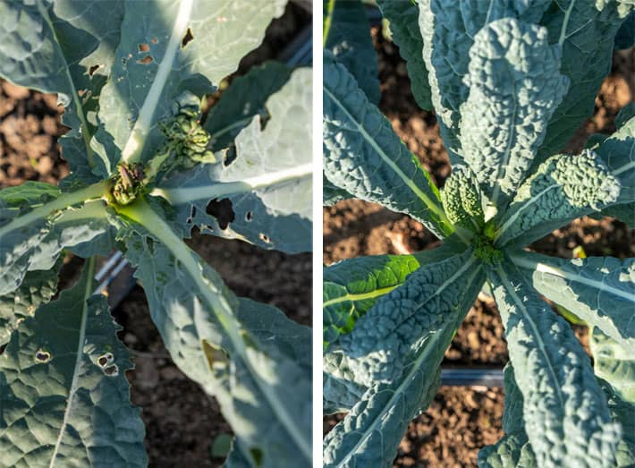 Brassica plants showing signs of Swede Midge damage growing in garden.