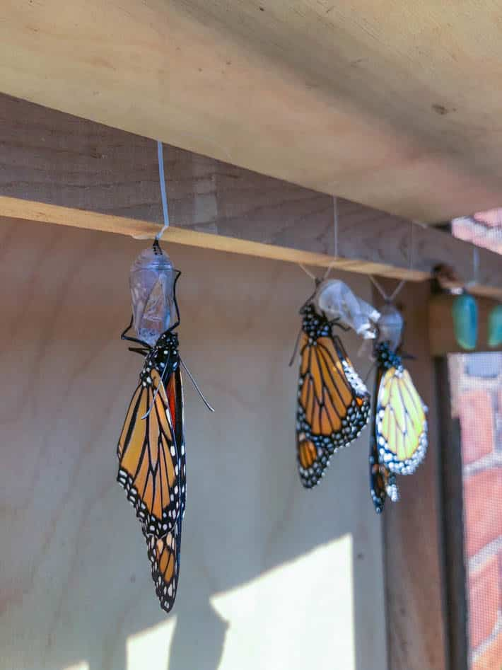Newly emerging Monarchs inside a DIY butterfly house.