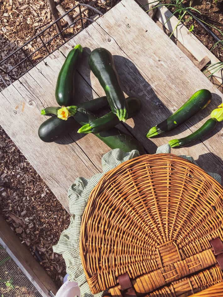 Various sized zucchini piled on a rustic wooden outdoor bench beside a vintage wicker picnic basket.