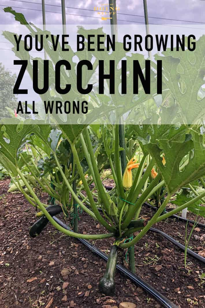 As it turns out ... you\'ve probably been growing your zucchini all wrong. To grow healthier, more productive, zucchini plants that take up less space you need to stake them and prune them. Just like a tomato! #vegetablegardening #zucchini