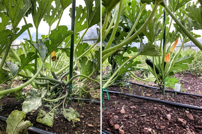 Left side of shot shows a zucchini plant before pruning and staking. Its leaves show signs of pest damage and powdery mildew. Right side of shot shows zucchini plant after pruning and staking.