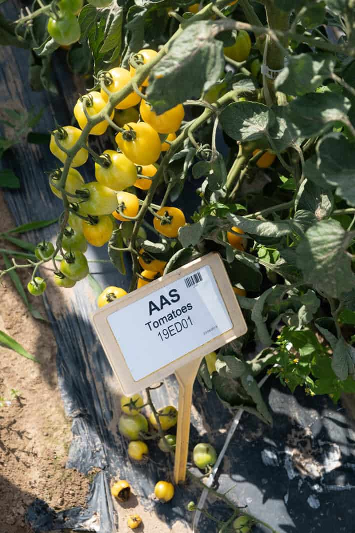 "Yellow bell-pepper-shaped tomatoes growing on the vine in the garden. A plant marker with a bar code and ""AAS Tomatoes 19ED01"" on it can be seen in the foreground."