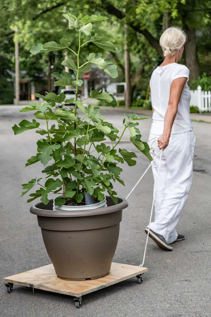 DIY dolly being used to easily roll a huge potted plant up a suburban street, being pulled by Karen Bertelsen, dressed all in white.