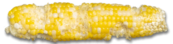 A corn cob that's been partially eaten in a random manner on a white background.