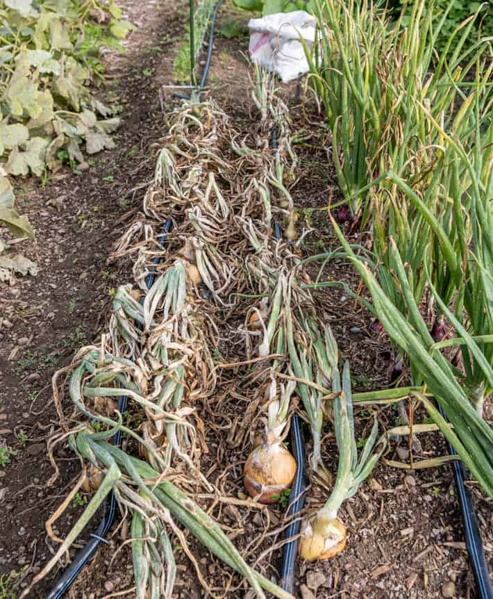A row of mature onions with their tops turned down beside a row of onions still growing in the ground.