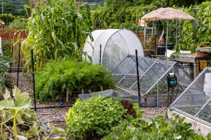 A shot of Karen Bertelsen's community vegetable garden showing various greenery and two cold frames. A hoop house and straw garden umbrella can be seen in the background.