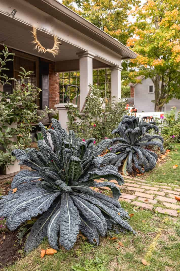 2 huge black kale plants flanking the entrance to a heritage cottage porch with a red brick walk.