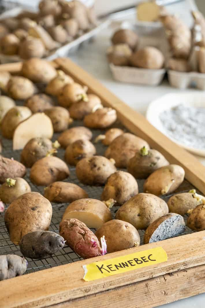 A variety of purple, pink and w hite potatoes being chitted on a wood framed screen.