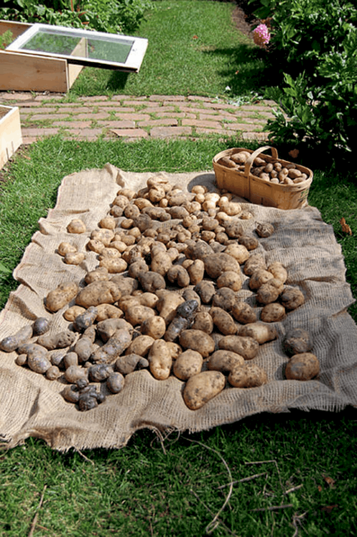 A variety of potatoes including Rusisan Blue, Kennebec and Burbank russet lay to dry on a burlap covered lawn.
