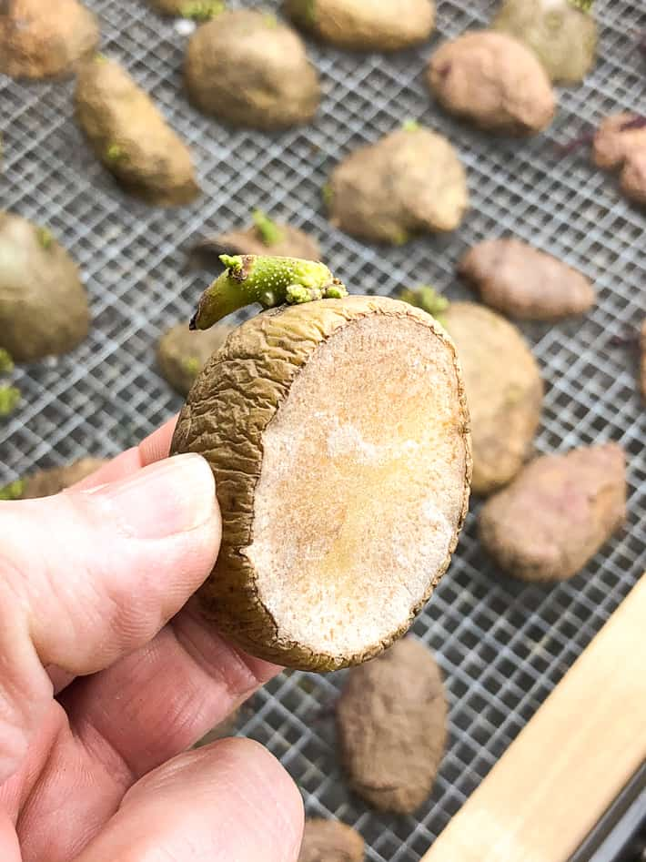A hand holds up a seed potato that was cut a week ago, showing how the wound becomes dry and leathery.