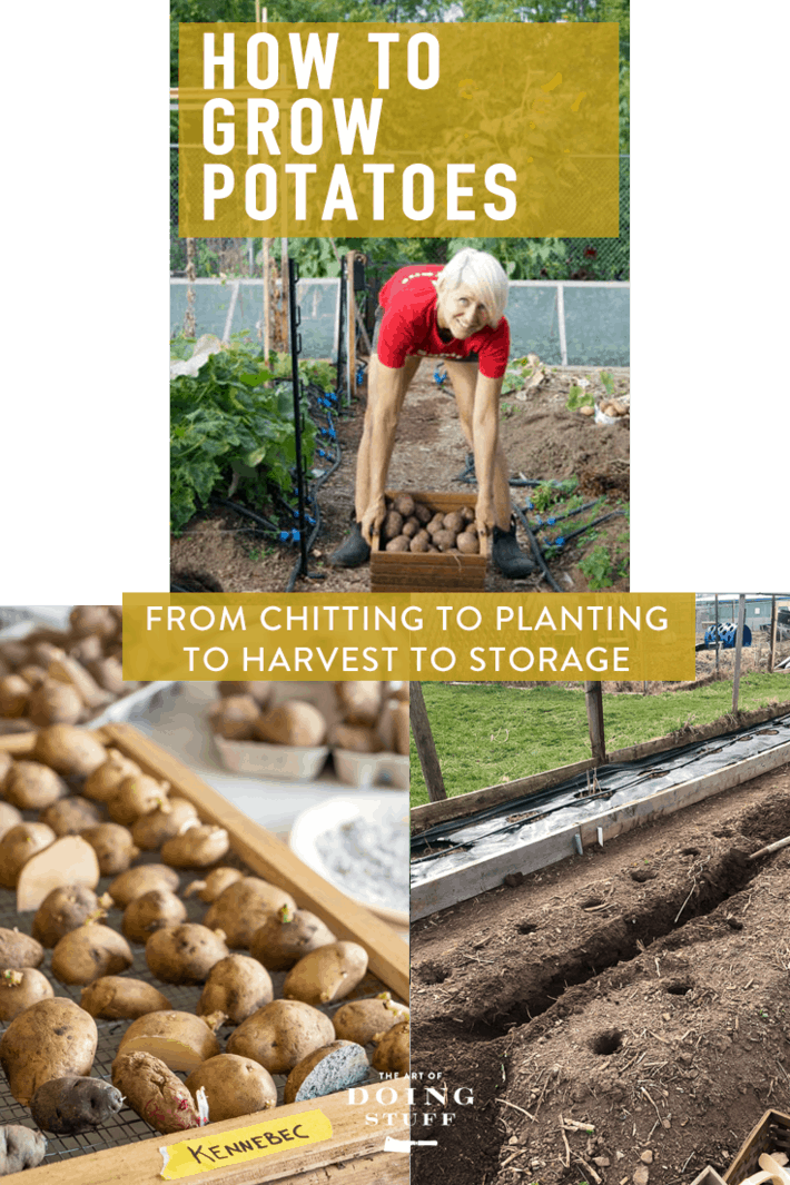 How to Grow Potatoes. Chitting, Planting, Harvesting.