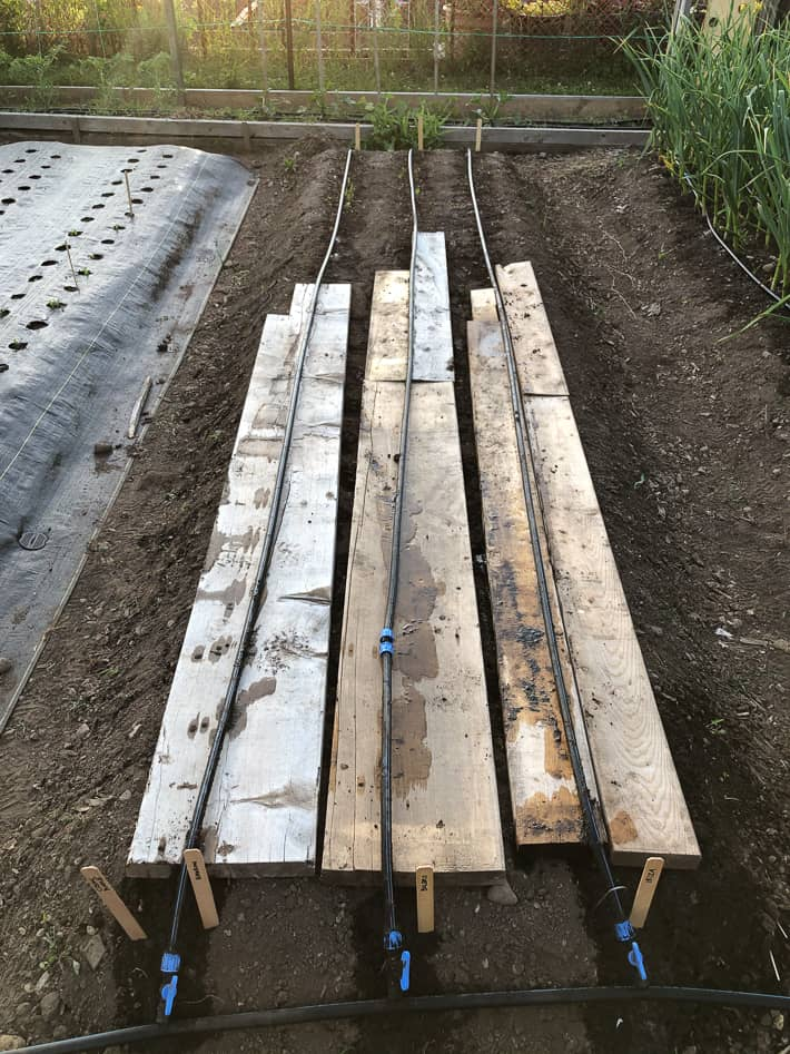 Old wood boards placed over germinating carrot seeds to keep them dark and wet in a raised bed.