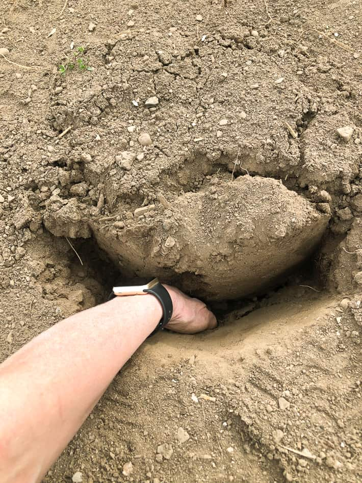 Making sure the potato has contact with the soil below by pushing it into the hole further by hand.