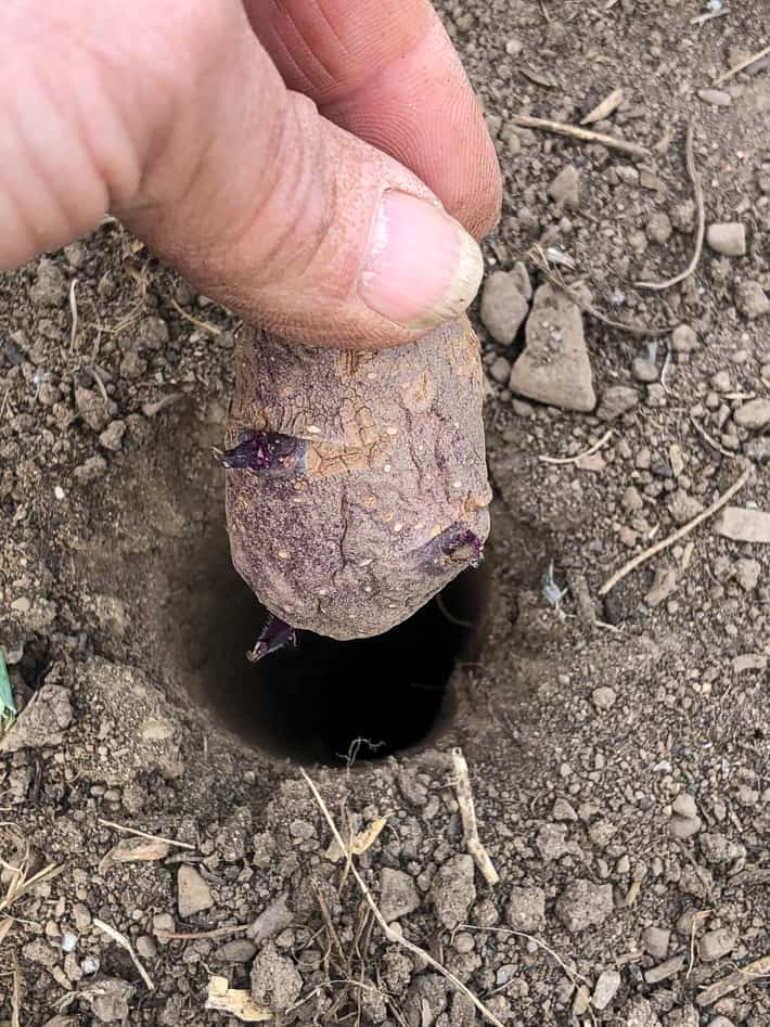 """Slipping a small, cut seed potato into an 8"""" deep hole made with a pole."""