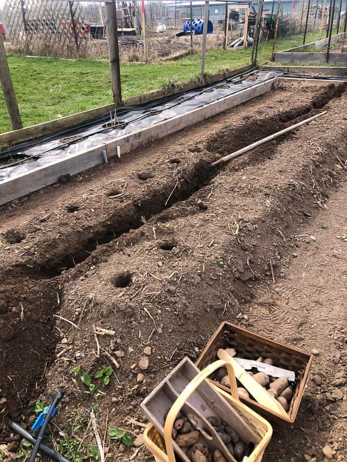 Karen Bertelsen's 15' long potato bed with a trench dug in the centre, and holes on either side showing 2 different potato planting methods.