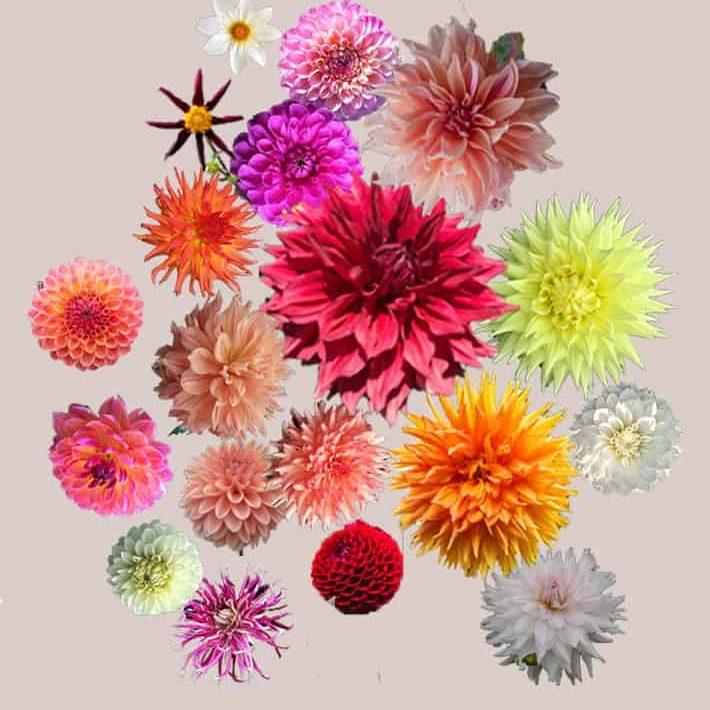 The 25 Varieties of Dahlias I\'m Growing This Year.  Plus Dahlia Society Growing Tips.