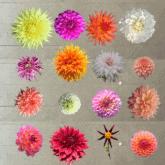 The 25 Varieties of Dahlias I'm Growing This Year.  Plus Dahlia Society Growing Tips.