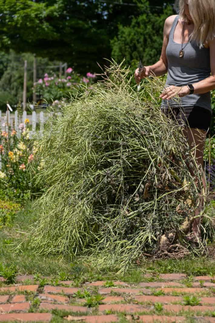 Karen Bertelsen trims kale stems filled with seed pods.