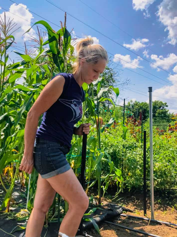 Karen Bertelsen pushes an electric fence stake into the ground around a patch of corn.