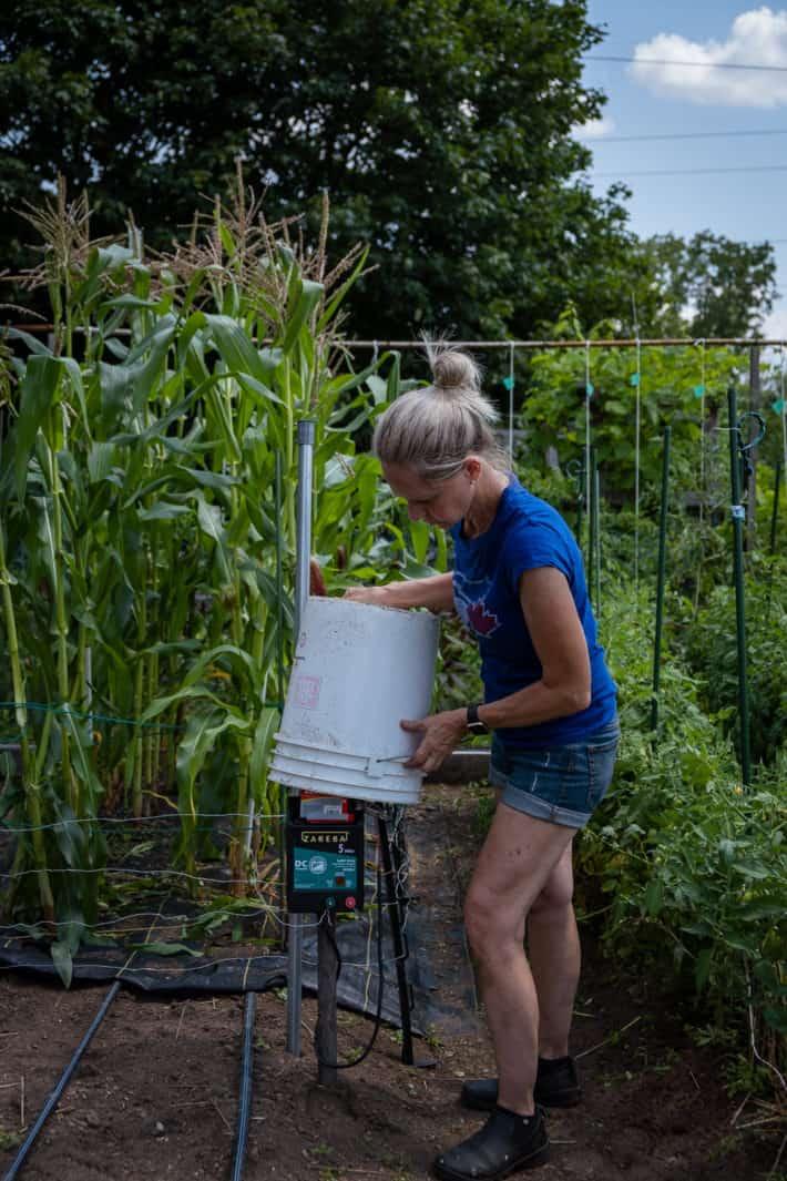 Karen Bertelsen places a bucket over electric fence charger at dusk.