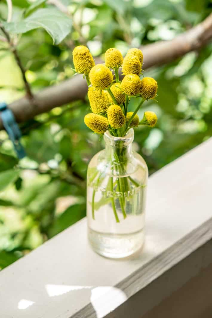 Yellow toothache plant flowers in a small antique Listerine glass jar.