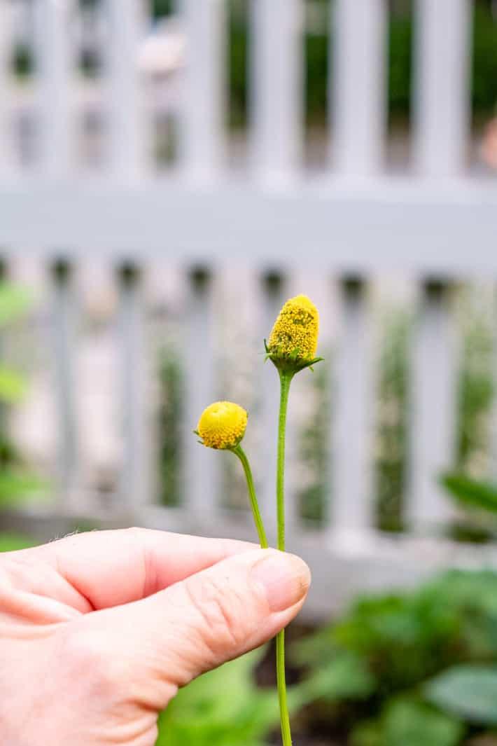 An immature next to a mature buzz button flower.